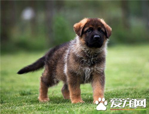 德国牧羊犬怎么饲养 白天经常和小狗呆在一起