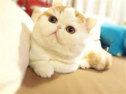 加菲猫买多大的比较合适?纯种加菲猫在哪购买?